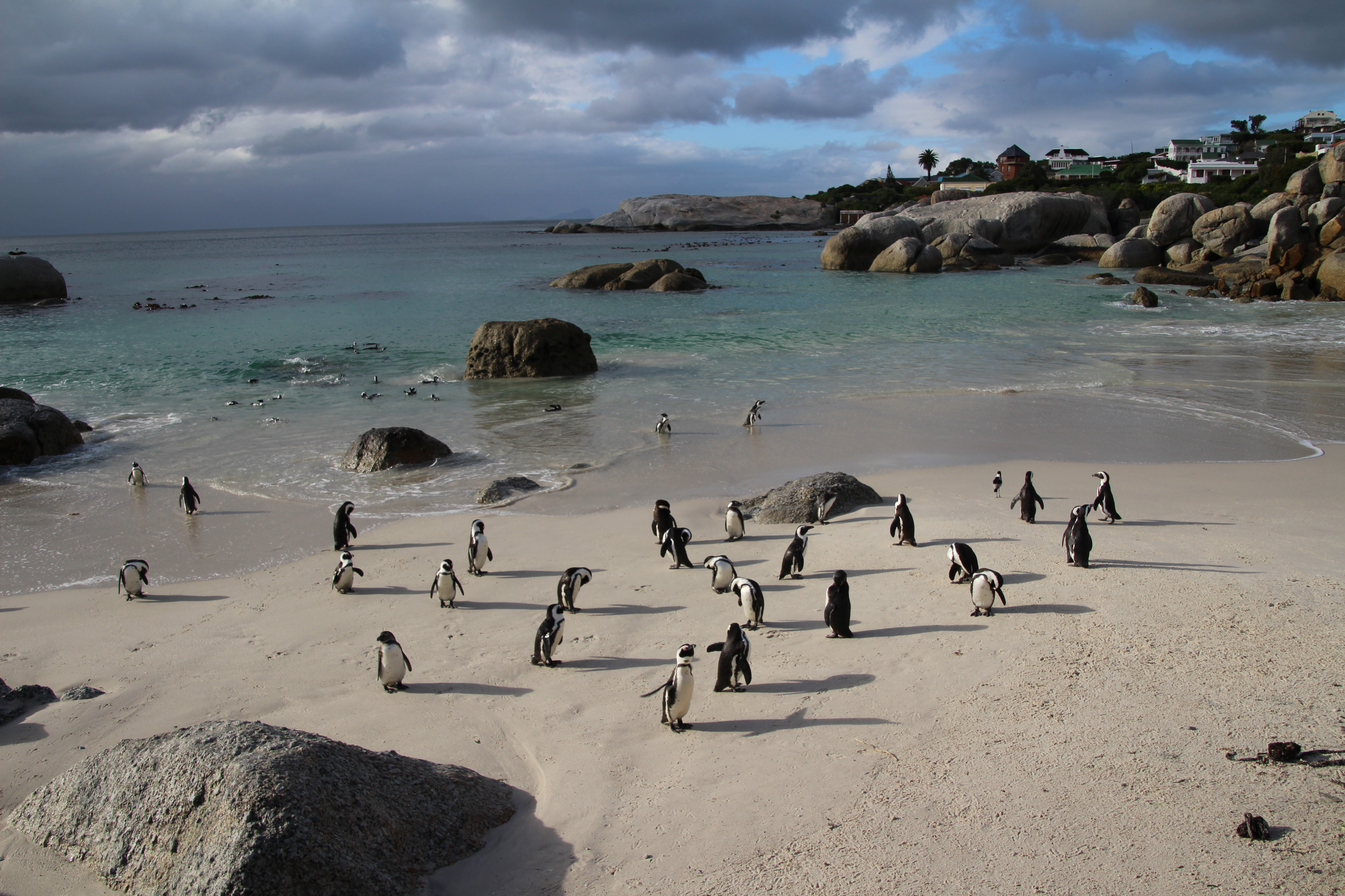 Boulders Penguin Colony, Table Mountain National Park