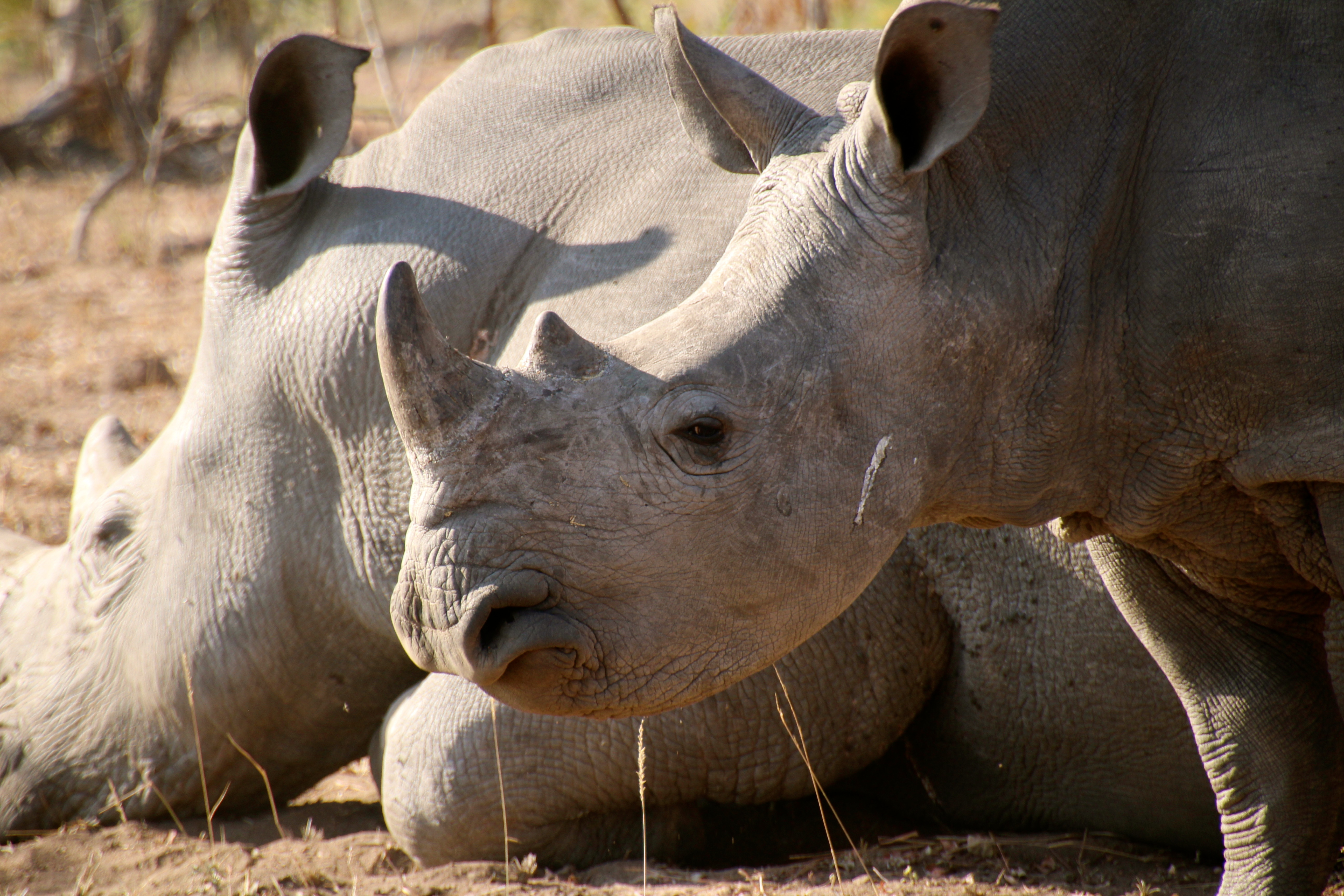 Sabi Sands rhino