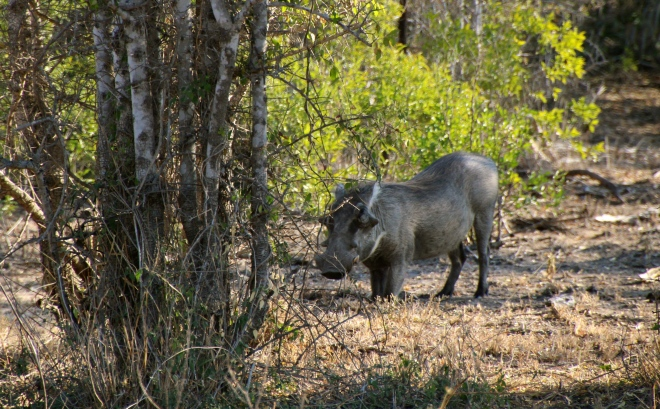 Sabi Sands South Africa Warthog