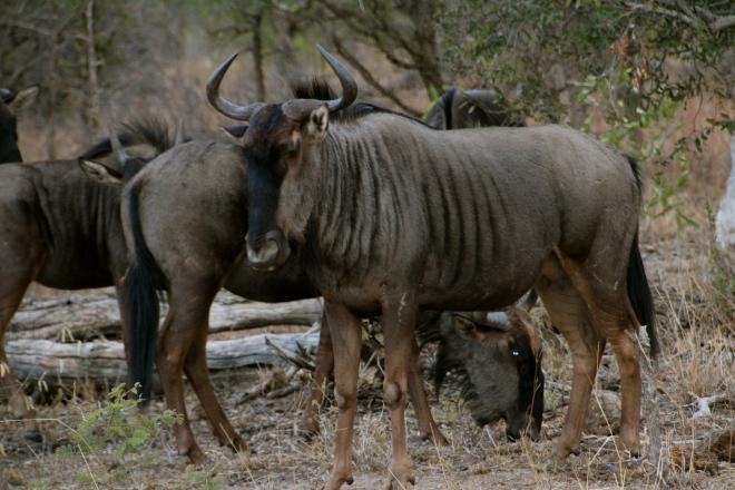 Wildebeast, Tintswalo, Manyeleti